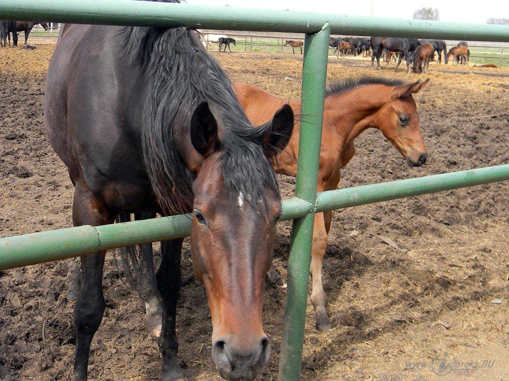 Старожиловский конный завод 41