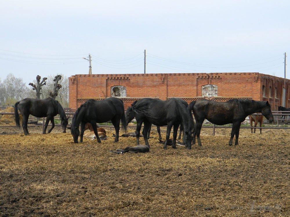 Старожиловский конный завод 49