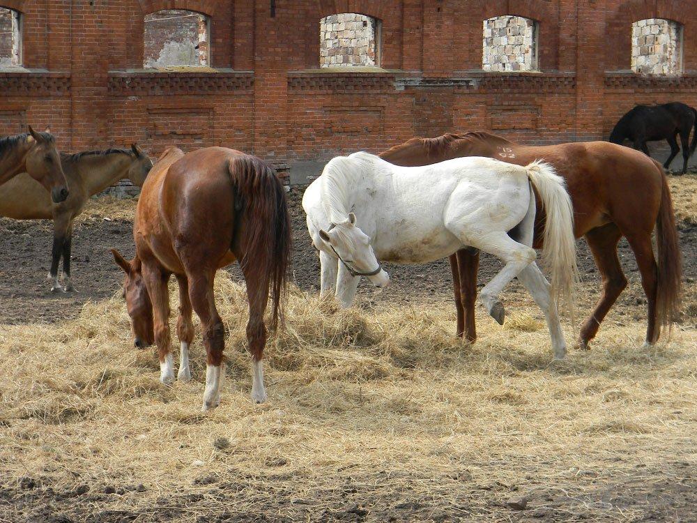 Старожиловский конный завод 67
