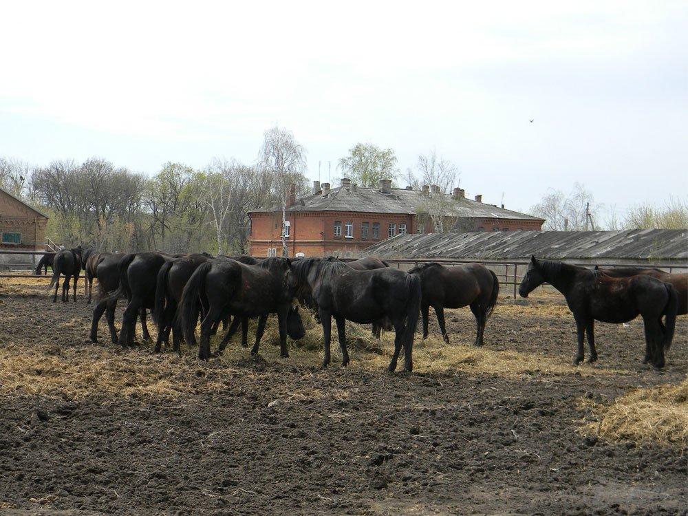 Старожиловский конный завод 73