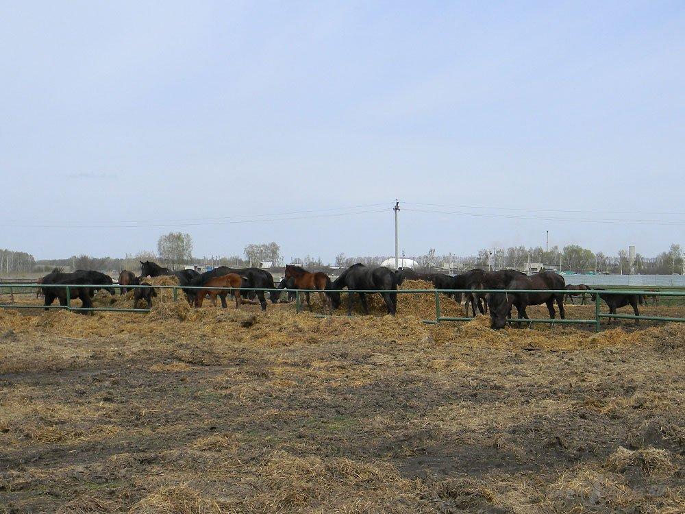 Старожиловский конный завод 5