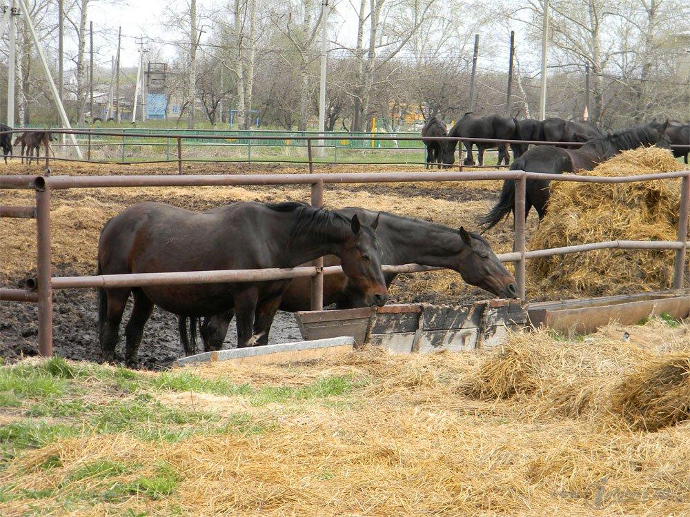Старожиловский конный завод 79